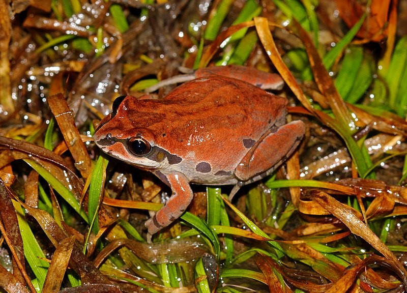 An ornate chorus frog ([I]Pseudacris ornata[/I]) with brown coloration