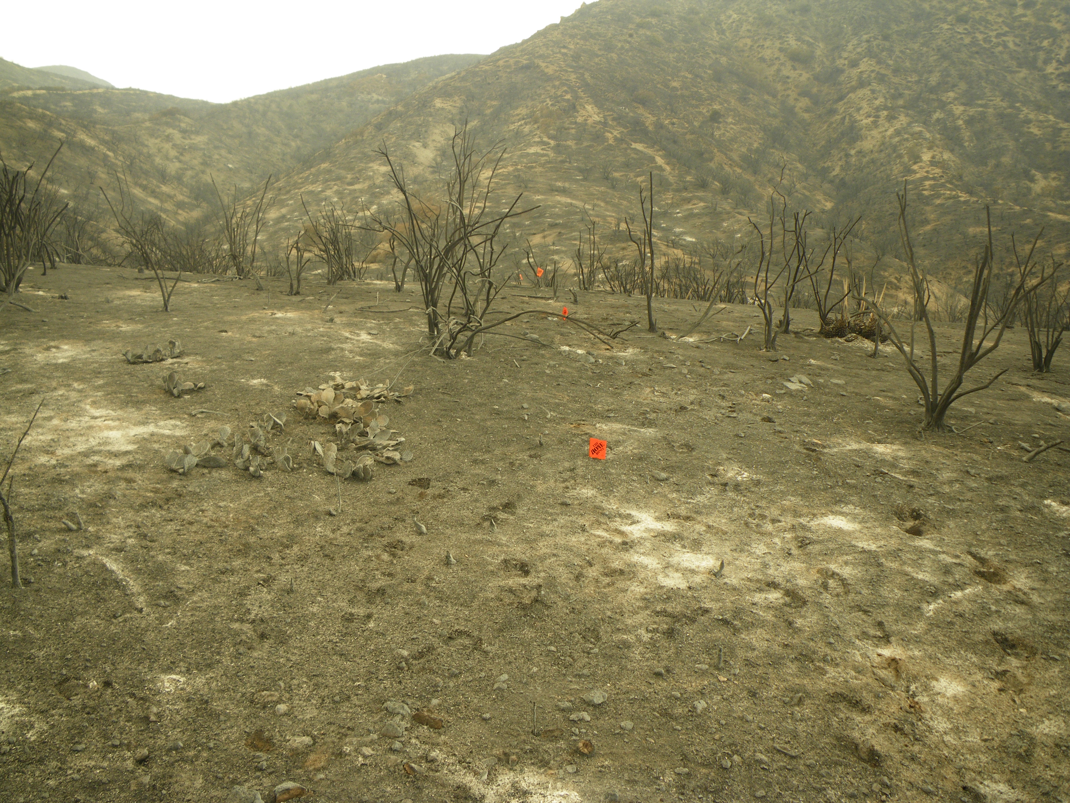 Burned hillside from recent fire in chaparral in southern California.  Even cactus can be seen burned. The lack of organic materials changed soil moisture and impacts amphibians.