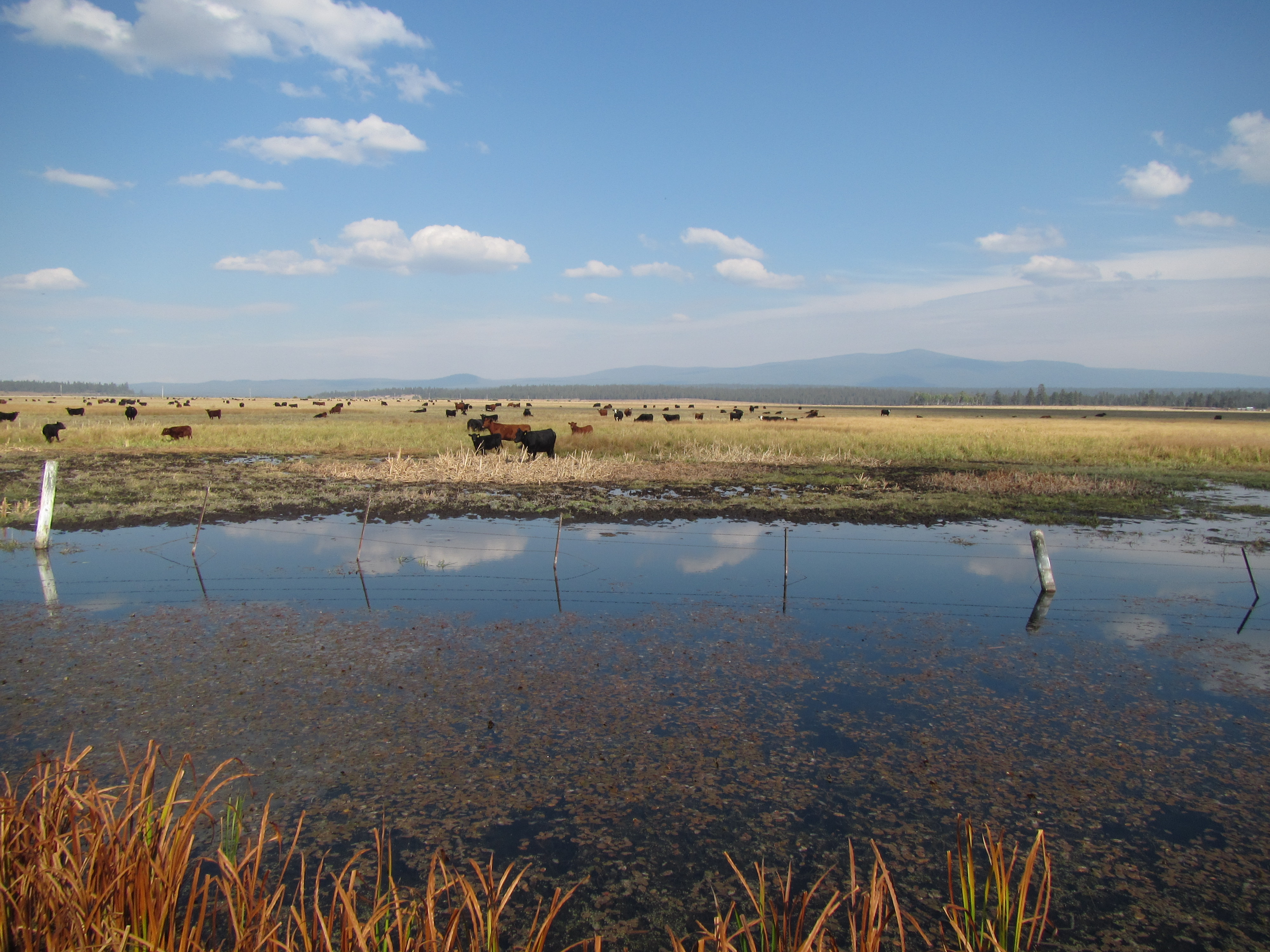 Cattle at Klamath National Wildlife Refuge.<br />Photo by: Brome McCreary