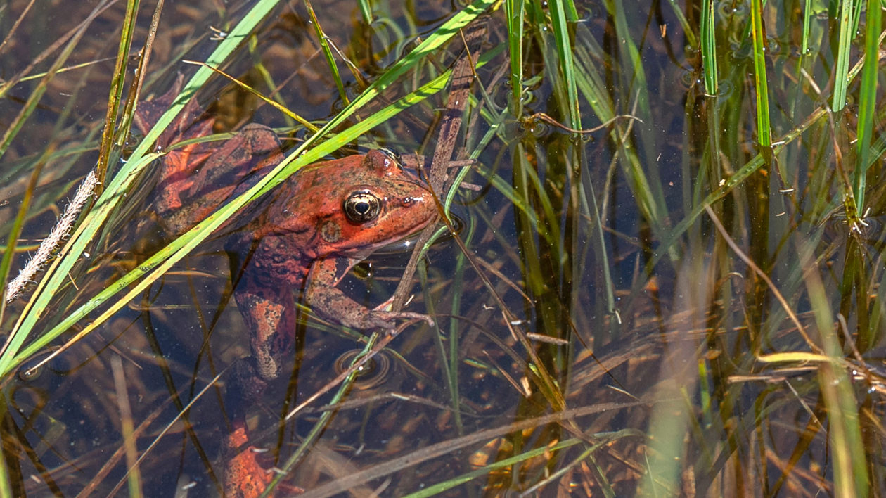 A California ed-legged frog recently released in Yosemite Valley.