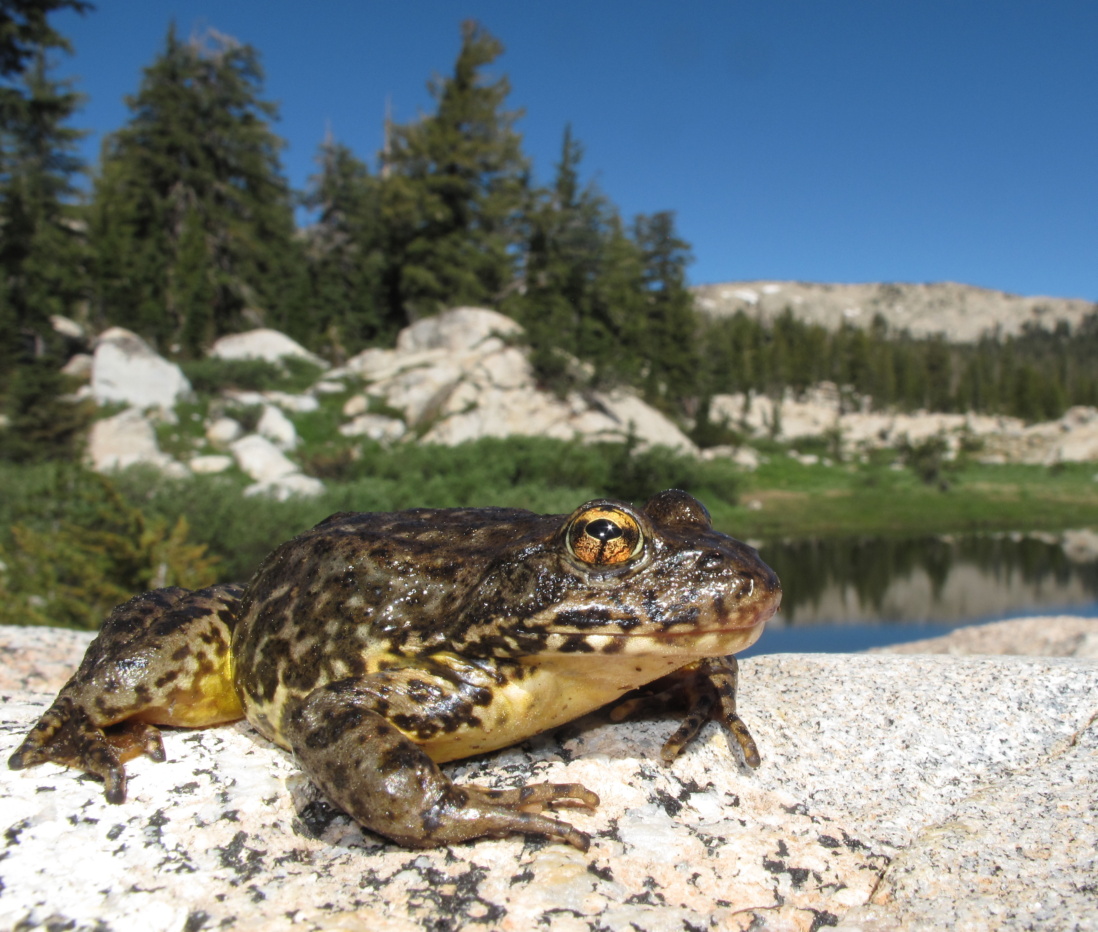 Sierra Nevada yellow-legged frog in Yosemite National Park<br />Photo by: D Edmonds