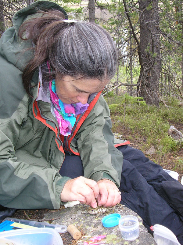 E. Muths fits a radio transmitter belt on an adult boreal toad<br />Photo by: RMNP