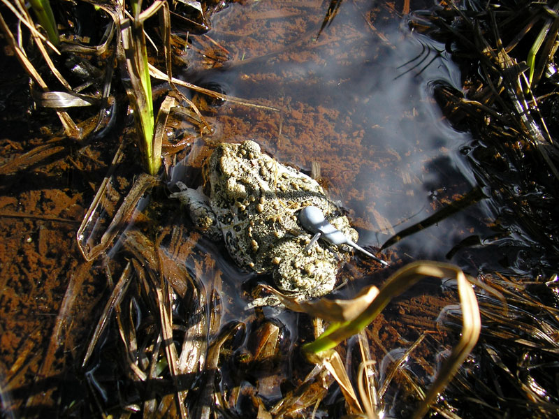 Released adult boreal toad with radio transmitter<br />Photo by: E. Muths