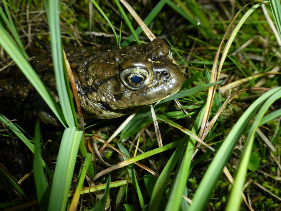 A male boreal toad waits for opportunities to mate near a Colorado mountain lake