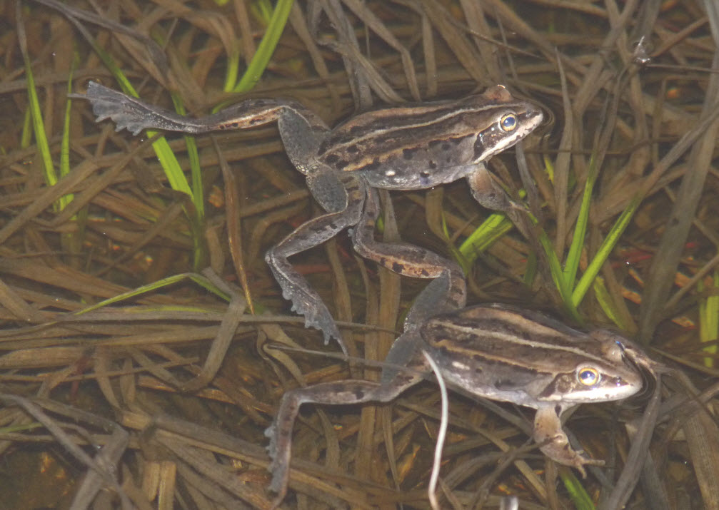 <strong>Source:</strong>  USGS Northern Rocky Mountain Science Center. <strong>Photographer:</strong> P.S. Corn. Wood frogs breeding at Lily Pond. Larimer County, Colorado