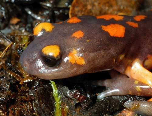 <strong>Source:</strong> USGS Western Ecological Research Center. <strong>Photographer:</strong> Chris Brown. Ensatina eschscholtzii platensis