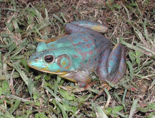 <strong>Source:</strong> USGS National Wetlands Research Center. <strong>Photographer:</strong> Dana Drake. Blue-purple bullfrog found in Lafourche Parish, Louisiana.