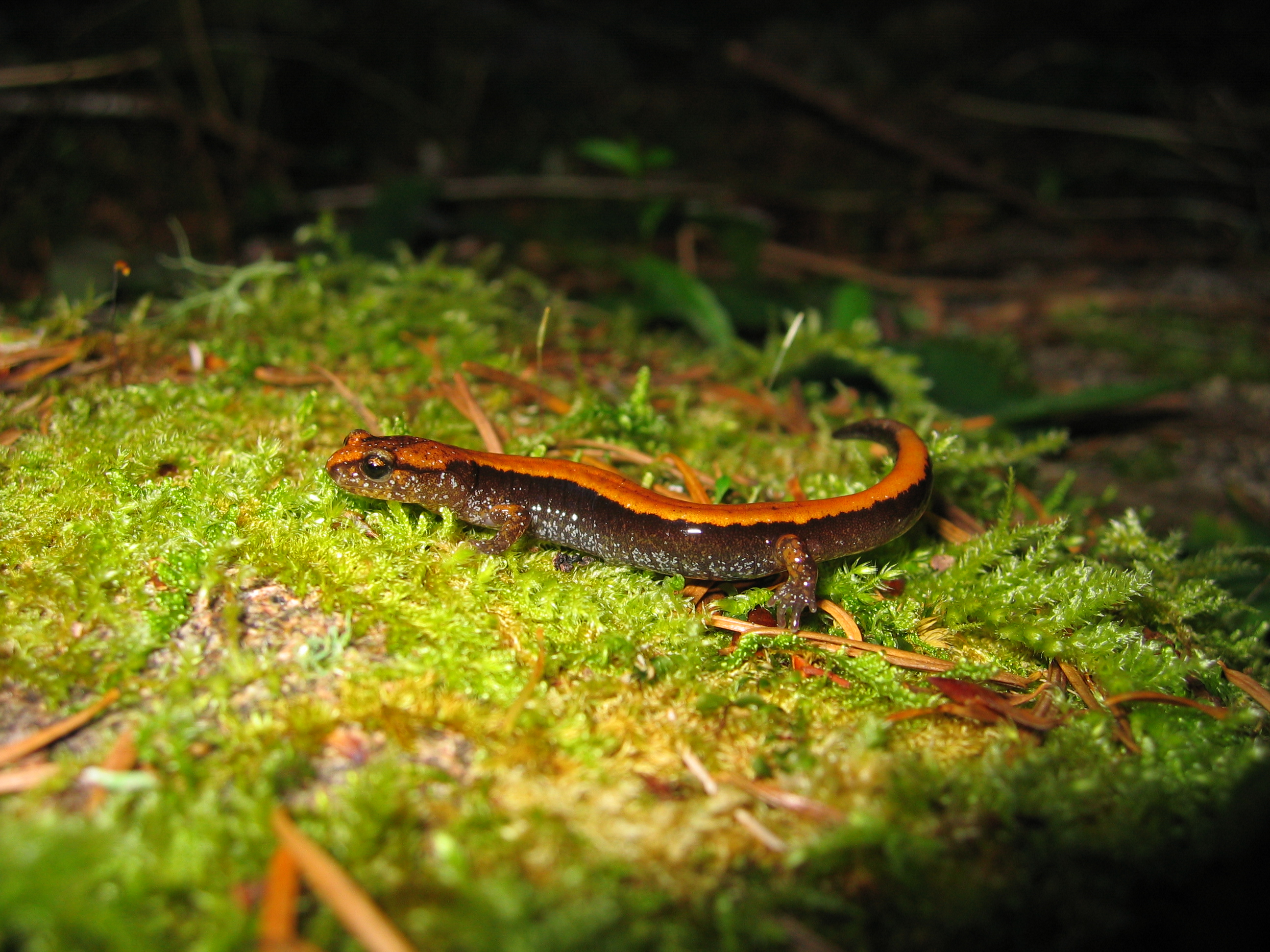<strong>Source:</strong> USGS FRESC. <strong>Photographer:</strong> Brome McCreary. Plethodon vehiculum adult.