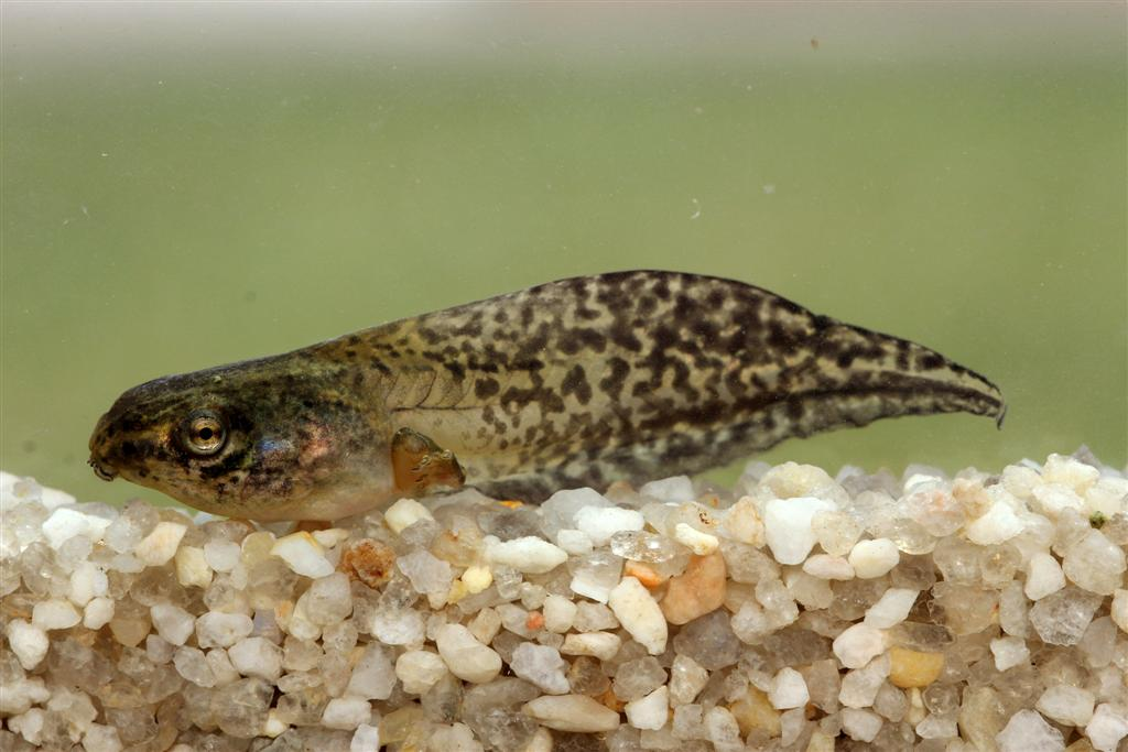 <strong>Source:</strong> USGS National Wetlands Research Center. <strong>Photographer:</strong> Jeromi Hefner. Tadpole, Lafayette Parish, Louisiana.