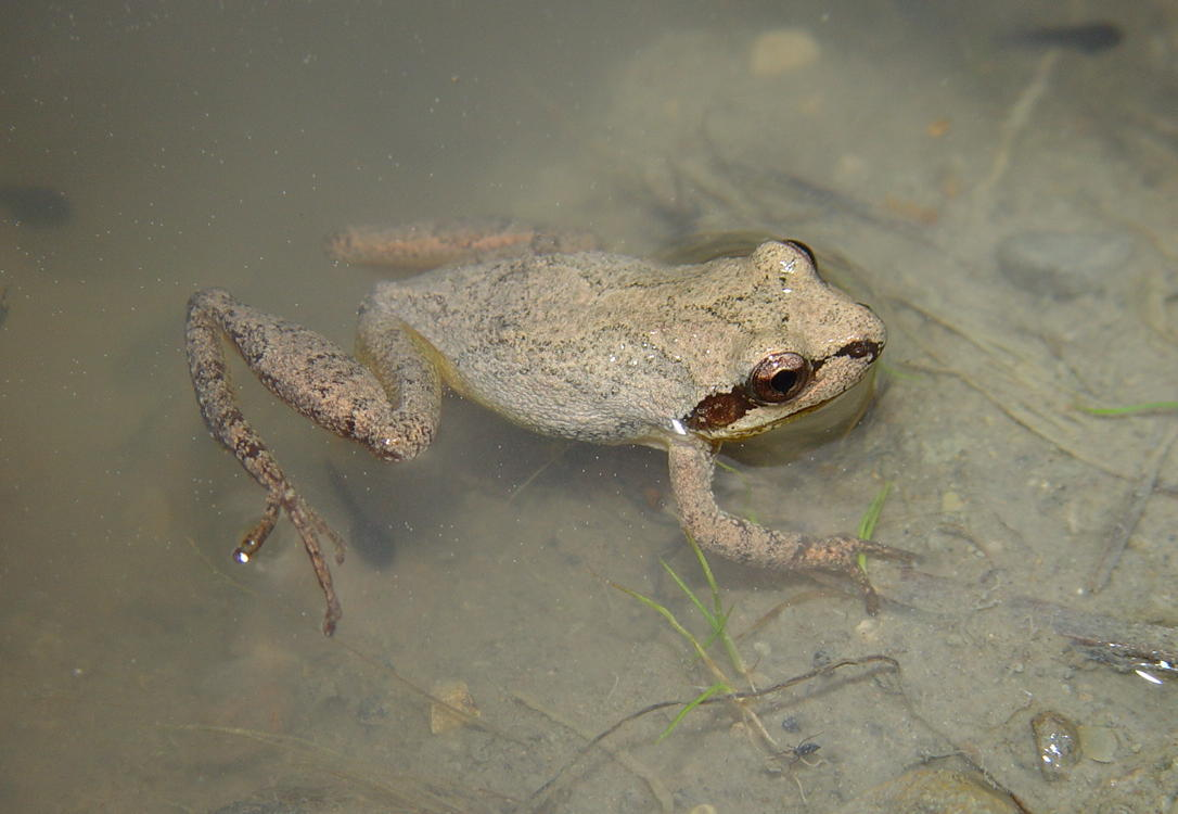 <strong>Source:</strong> USGS National Wetlands Research Center. <strong>Photographer:</strong> Brad M. Glorioso. Male from tire rut alongside highway. Note tadpoles in photo. Franklin County, Tennessee.