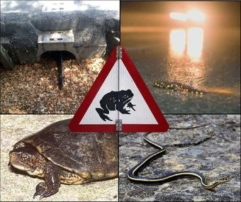 Credits, counter-clockwise from top: Amphibian tunnel/Tom Langton, Western pond turtle/Chris Brown, Racer/Gary Nafis, CA tiger salamander/Jerry Dodrill. (Public domain)<br />Photo by: Amphibian tunnel/Tom Langton