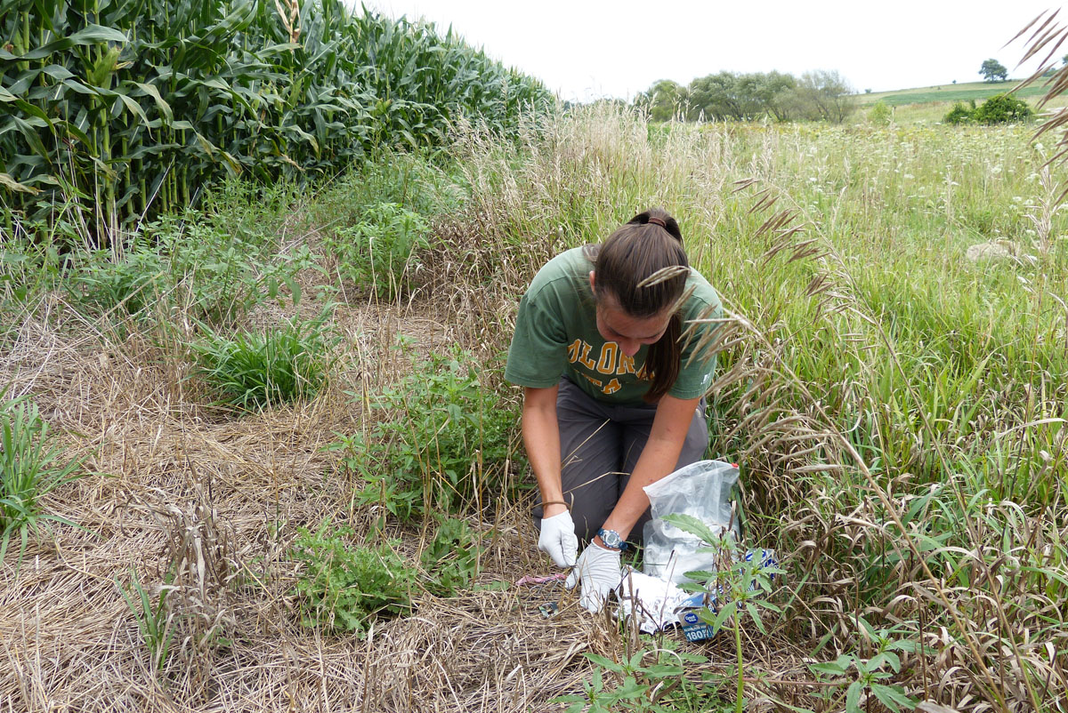 Scientist deploying a silicone passive sampler near a corn field in Cerro Gordo County, Iowa. The science team used the passive samplers to quantify pesticide exposure in wetland, grassland, and agricultural habitats.<br />Photo by: Clay L. Pierce, USGS.